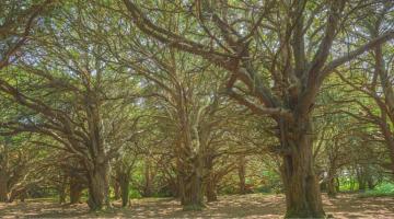 Great Yews Woodland
