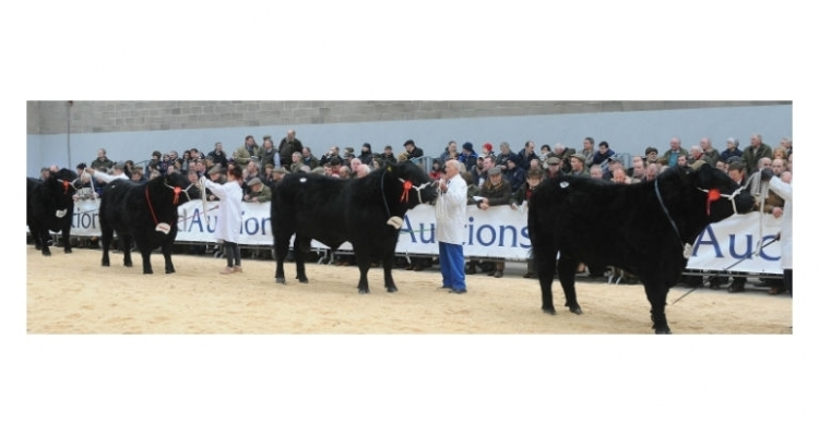 Aberdeen Angus Stirling Bull Sales